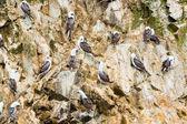 Aquatic seabirds — Stock Photo