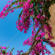 Branches of flowers bougainvillea — Stock Photo #40595269