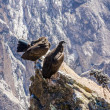 Condors at Colccanyon — Stock Photo #41302987