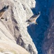 Condors at Colccanyon — Stock Photo #41303201