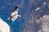 Flying condor — Stock Photo