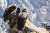 Three Condors at Colca canyon — Stok fotoğraf
