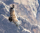 Condor over Colca canyon — Stock Photo