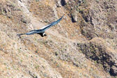 Condor uçan — Stok fotoğraf