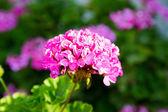Różowe kwiaty w kavros wieś, crete, grecja. — Zdjęcie stockowe