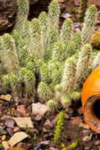 Red Torch Cactus close up — Stock Photo