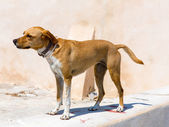 A street dog — Stock Photo