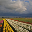 Tulips fields in the spring of The Netherlands — Stock Photo