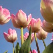Tulips in the spring of The Netherlands — Stock Photo