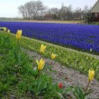Tulips and hyacinths fields in spring of Netherlands — Stock Photo #12480841