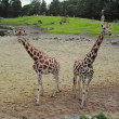 Giraffes in a zoo in The Netherlands - Lizenzfreies Foto