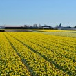 Постер, плакат: Narcissus fields in the spring of The Netherlands