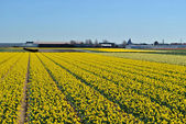 Narcissus fields in the spring of The Netherlands — Stock Photo