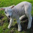 Lamb in The Netherlands - Lizenzfreies Foto