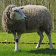 Постер, плакат: Sheeps in The Netherlands