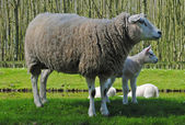 Sheeps in The Netherlands — Stockfoto
