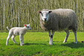 Sheeps in The Netherlands — Stock Photo