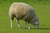 овцы в нидерландах — Стоковое фото