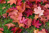 Fallen Red Maple Leaved — Stock Photo