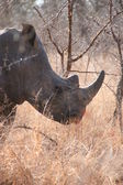 South African rhino — Stock Photo