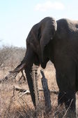 South African elephants — Stock Photo