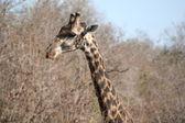 South Africa giraffe — Stock Photo