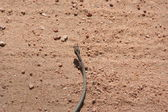 South African snake — Stock Photo