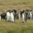 Parque Pinguino Rey - King Penguin park on Tierra del fuego — Stock Photo