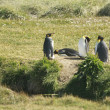 Parque Pinguino Rey - King Penguin park on Tierra del fuego - Stock Photo