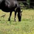 Stock Video: Horse grazing in field