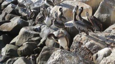 Birds on rocks — Stock Video