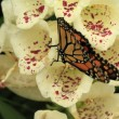 Butterfly on foxglove — Stock fotografie