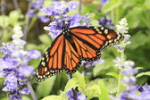 Monarch butterfly — Stockfoto
