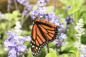 Monarch butterfly — Stock Photo