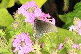Çiçek güzel kelebeği — Stok fotoğraf