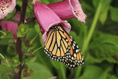 Butterfly on foxglove — Stock Photo