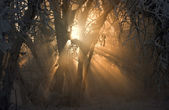 Rays of light shows through between the branches covered with sn — Stockfoto