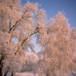 Trees with snow-covered branches, lit by the sun. — Stock Photo #22253805