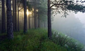 The sun's rays in a pine forest — Stock Photo