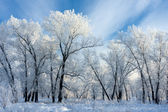 Trees covered with white frost — Stock Photo