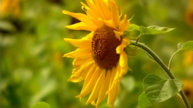 Close-up of Sunflower field grass (static - day) — Stockvideo