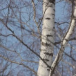 Pan of birch branches — Stock Video