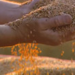 Stock Video: Close-up of agriculture bread harvest (mixed-other - day)