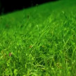 Green grass field in breeze. Slow motion — Stock Video