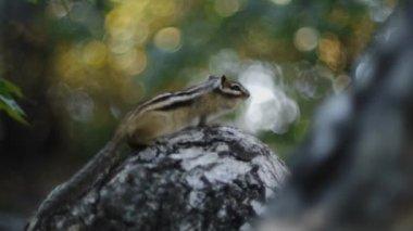 花栗鼠 — 图库视频影像