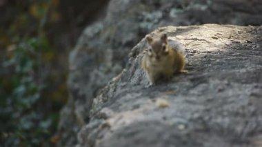 Close-up of chipmunk squirrel wildlife (handheld - day) — Vidéo