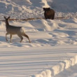 Stok video: Roe deer