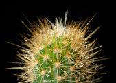 Cactus in the dew — Stock Photo