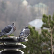Pair of gray pigeons in nature - Stok fotoğraf