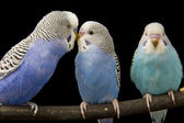Three budgies are in the roost — Stock Photo